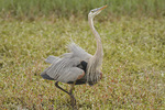 Adult Great Blue Heron (Ardea herodias) displaying in mid-March.