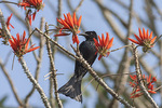 Spangled Drongo (Dicrurus hottentottus) in Erythrina in mid-February.