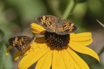 Pearl Crescent (Phyciodes tharos) in late August.