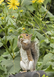 Female Eastern Gray Squirrel (Sciurus carolinensis) eating seed head of Cup Plant (Silphium perfoliatum) in early September.