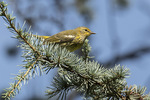 Cape May Warbler (Setophaga tigrina) in early September on fall migration.