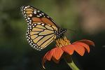 Monarch (Danaus plexippus) in Mexican Sunflower (Tithonia rotundifolia) in mid-September.