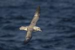Northern Fulmar (Fulmarus glacialis) in flight in late September.