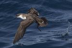 Great Shearwater (Ardenna gravis) in flight in late September.