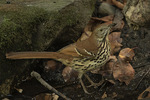 Brown Thrasher (Toxostoma rufum) in late September on fall migration.