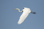 Great Egret (Ardea alba) in flight in mid-October.