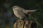 Gray Catbird (Dumetella carolinensis) in mid-October.