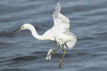Snowy Egret (Egretta thula) in Saltmarsh in mid-October.