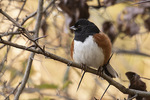 Male Eastern Towhee (Pipilo erythrophthalmus) in late October on fall migration.