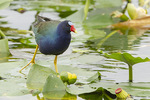 Adult Purple Gallinule (Porphyrio martinicus) in early March.