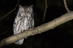 Gray-morph Eastern Screech-Owl (Megascops asio) on a mid-November night.
