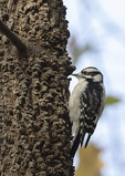 Female Downy Woodpecker (Dryobates pubescens) perched on Hackberry in early November.