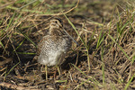 Wilson's Snipe (Gallinago delicata) in a muddy field in early April on spring migration.