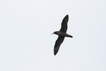Flesh-footed Shearwater (Ardenna carneipes) in flight in mid-December.