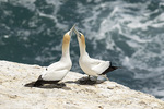Australasian Gannet (Morus serrator) pair exchange greetings in mid-December.
