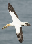 Australasian Gannet (Morus serrator) carries nesting material in flight in mid-December.