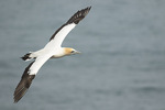 Australasian Gannet (Morus serrator) in flight in mid-December.