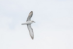 Cook's Petrel (Pterodroma cookii) in flight in mid-December.