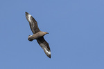 Brown Skua (Catharacta lonnbergi) in flight in late November.