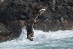 Brown Skua (Catharacta lonnbergi) in flight in early December.