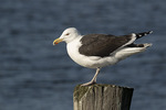 Adult Great Black-backed Gull (Larus marinus) in early January.