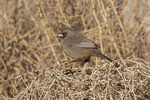 Abert's Towhee (Melozone aberti) in late January.