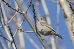 Juniper Titmouse (Baeolophus ridgwayi) in late January.