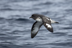 Cape Petrel (Daption capense), a.k.a. Cape Pigeon, a.k.a. Pintado Petrel, in flight in early December.