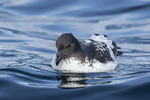 Cape Petrel (Daption capense), a.k.a. Cape Pigeon, a.k.a. Pintado Petrel, in late November.