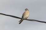 Male American Kestrel (Falco sparverius) perched on telephone line in late February.
