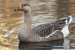 Domestic Greylag Goose (Anser anser) or hybrid with domestic Swan Goose (Anser cygnoides) in late January.