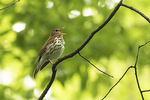 Male Wood Thrush (Hylocichla mustelina) singing in late May.