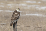 Immature Light-morph Ferruginous Hawk (Buteo regalis) perched on a fence post in early February.
