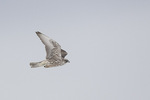 Immature Gray-morph Gyrfalcon (Falco rusticolus) in flight in early February.
