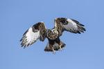 Female Rough-legged Hawk (Buteo lagopus) in flight in early February.