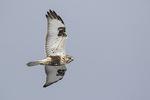 Immature Rough-legged Hawk (Buteo lagopus) in flight in early February.