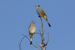 Gray Silky-flycatchers (Ptiliogonys cinereus), female at left, in late February.