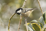 Coal tit (Periparus ater) in mid-March.