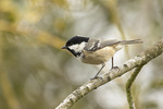 Coal tit (Periparus ater) in mid-March. Hyde Park, London, United Kingdom.