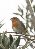 Singing European Robin (Erithacus rubecula) in mid-March.