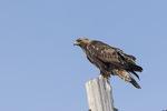 Immature Golden Eagle (Aquila chyrsaetos) in early February.