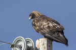 Adult Golden Eagle (Aquila chrysaetos) in early February.