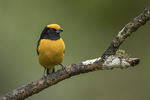 Male Orange-bellied Euphonia (Euphonia xanthogaster) in mid-January.