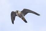 Adult female Peregrine Falcon (Falco peregrinus) in flight in late November.