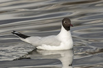 Adult Black-headed Gull (Chroicocephalus ridibundus) in mid-March.