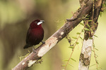 Male Silver-beaked Tanager (Ramphocelus carbo) in mid-January.