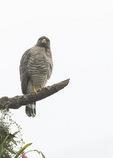 Roadside Hawk (Rupornis magnirostris) in late January.