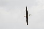 Campbell Albatross (Thalassarche impavida) in flight in late November.