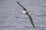 Juvenile Black-browed Albatross (Thalassarche melanophris) or Campbell Albatross (Thalassarche impavida) in flight in early December.