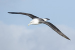 Shy or White-capped Albatross (Thalassarche cauta) in flight in late November.